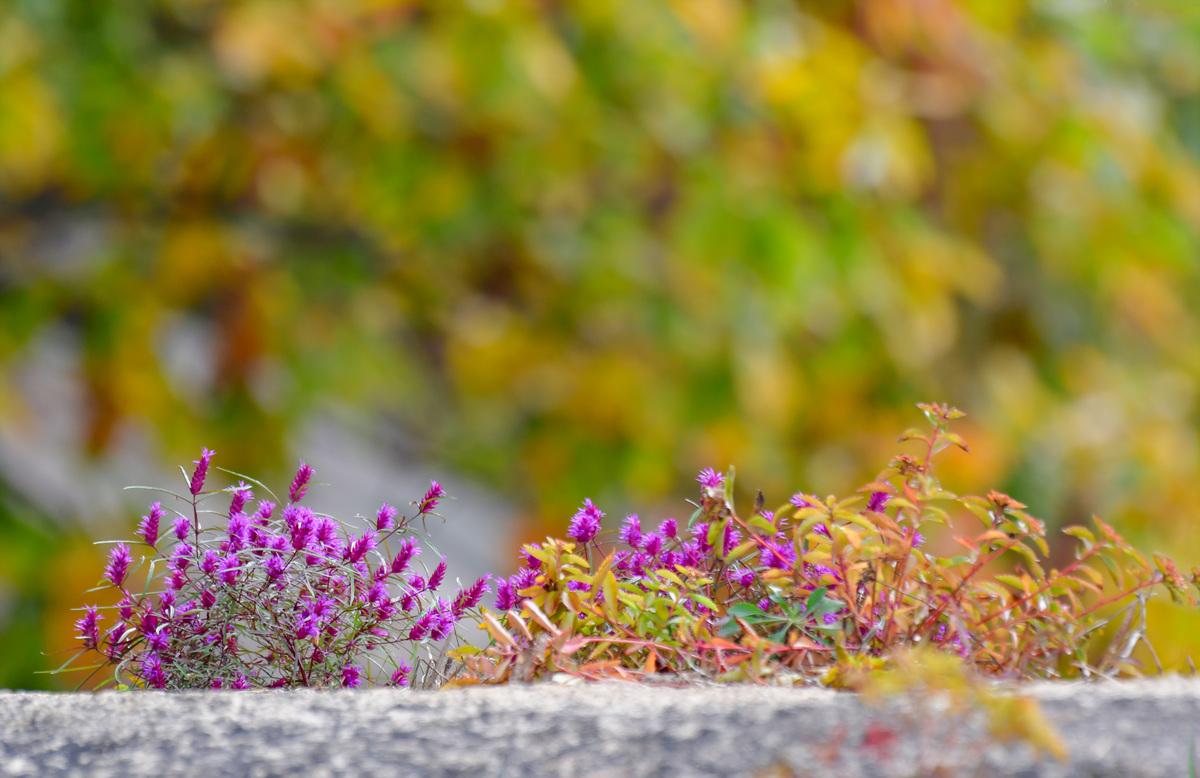 4가는잎향유20r_ 이봉식 산적.jpg