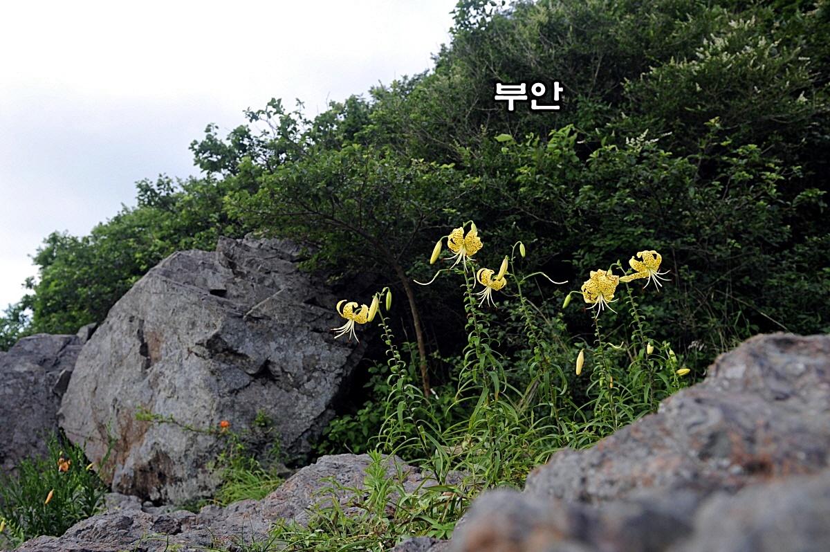 `참나리_DSC1926.JPG