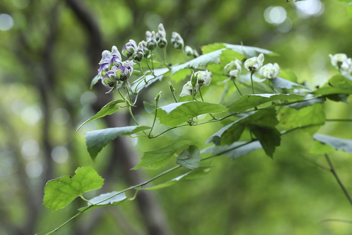 세뿔투구꽃12.jpg
